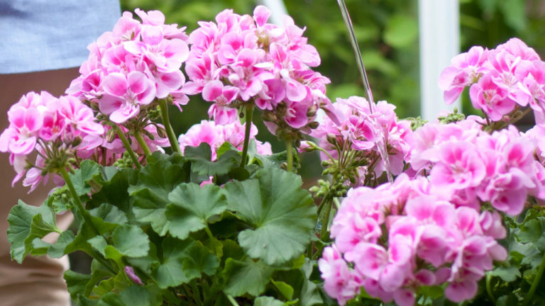 pelargonin pistokkaat