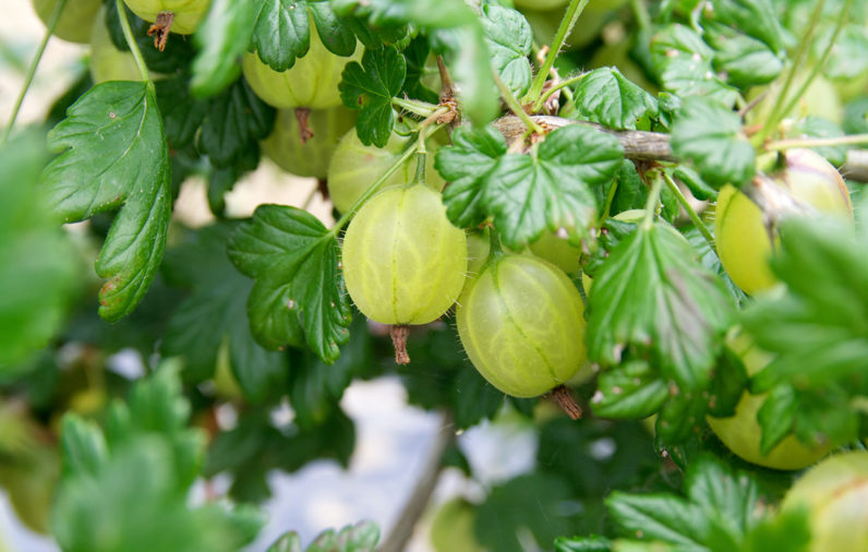 Gooseberries are different colors.
