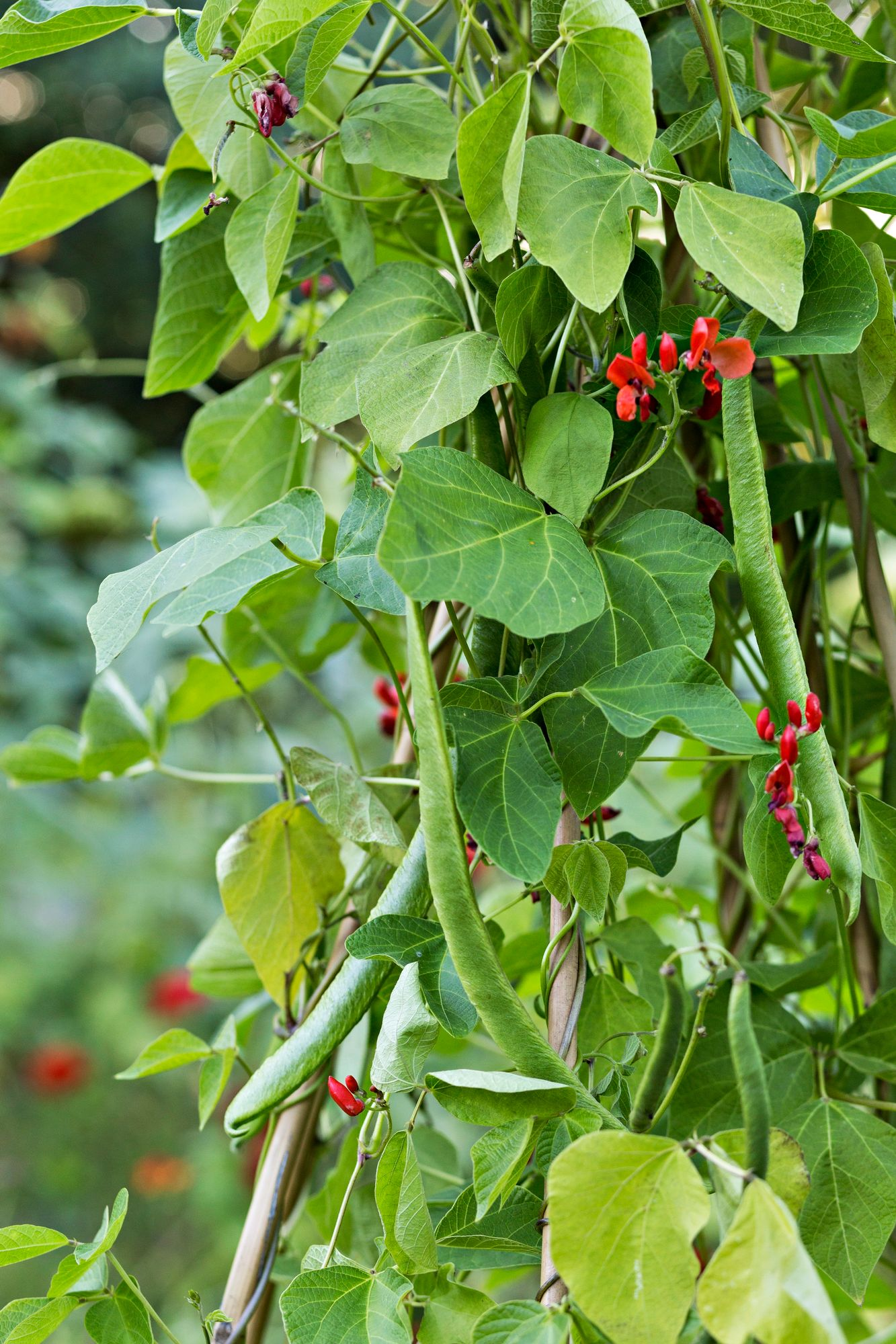 The kitchen garden gets a beautifully blooming eye-catcher from a rose bean.  A plant growing on a vine creates height, floral beauty and edible pods.  Beans at their roots bind atmospheric nitrogen, which also nourishes the earth.