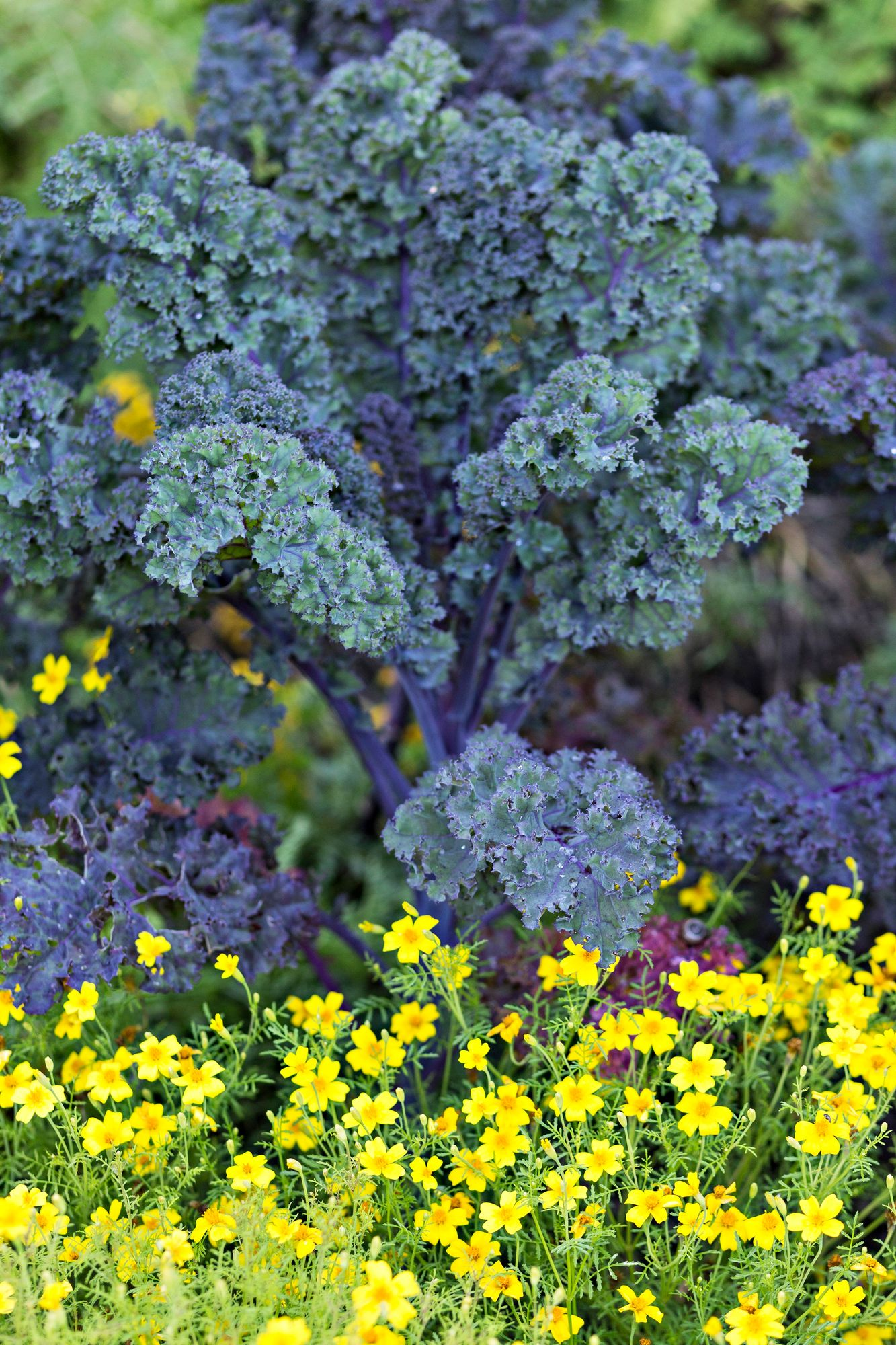 Healthy kale beautifies the kitchen garden right down to the frost.  There are also varieties with dark and red leaves.