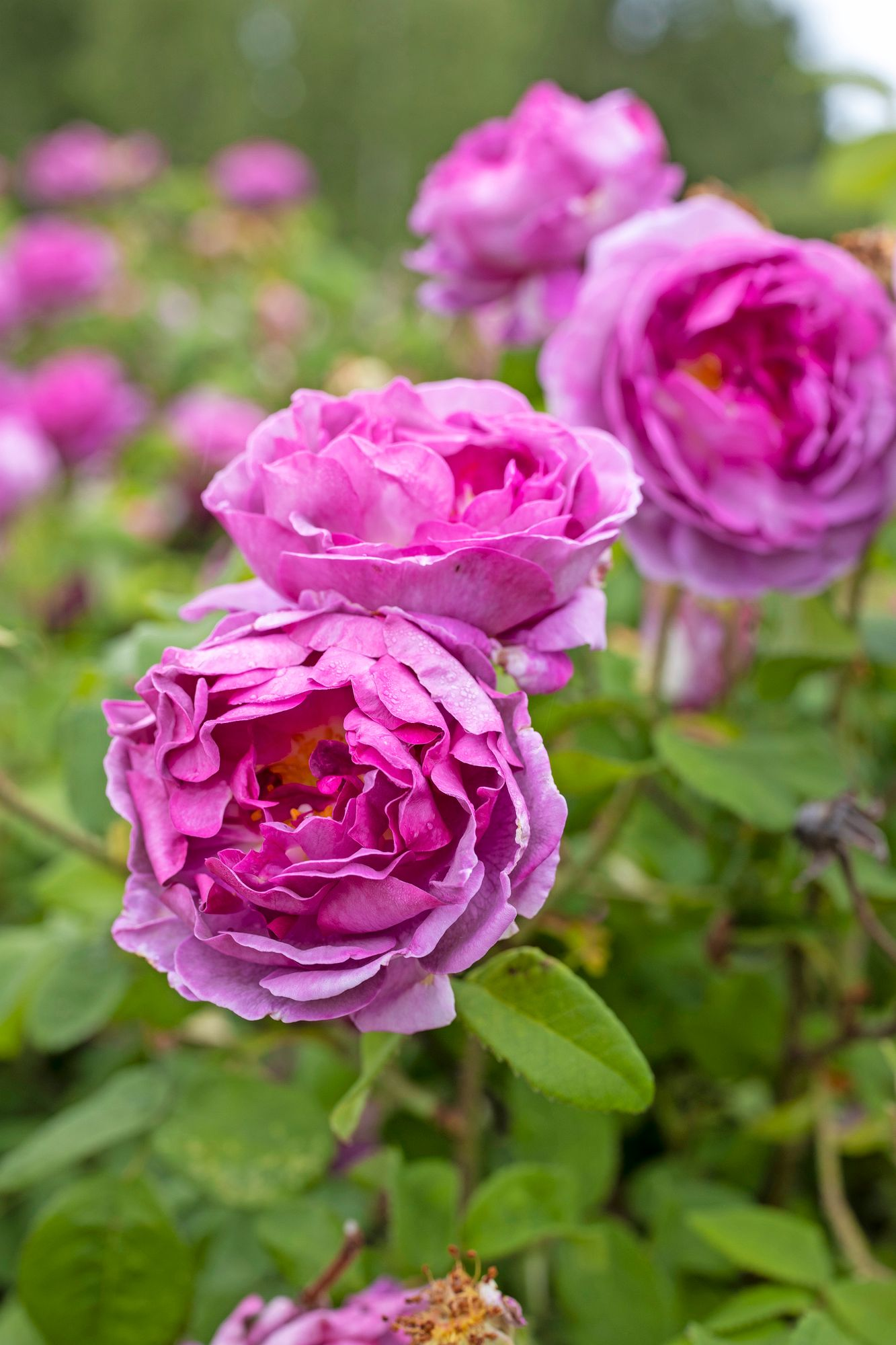 The magnificent French rose Président de Sèze is durable up to growth zone 3, ie from Vaasa to Kuopio.
