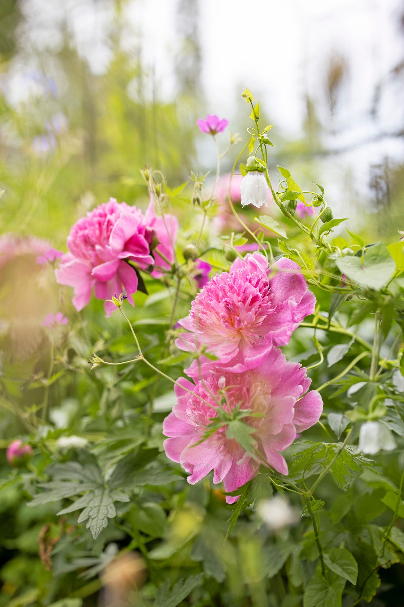 Many bell flowers match the romantic look of the cottage garden in terms of their design language and color.  The troll bell that grows with the peony is a parimeter-stretching vine.