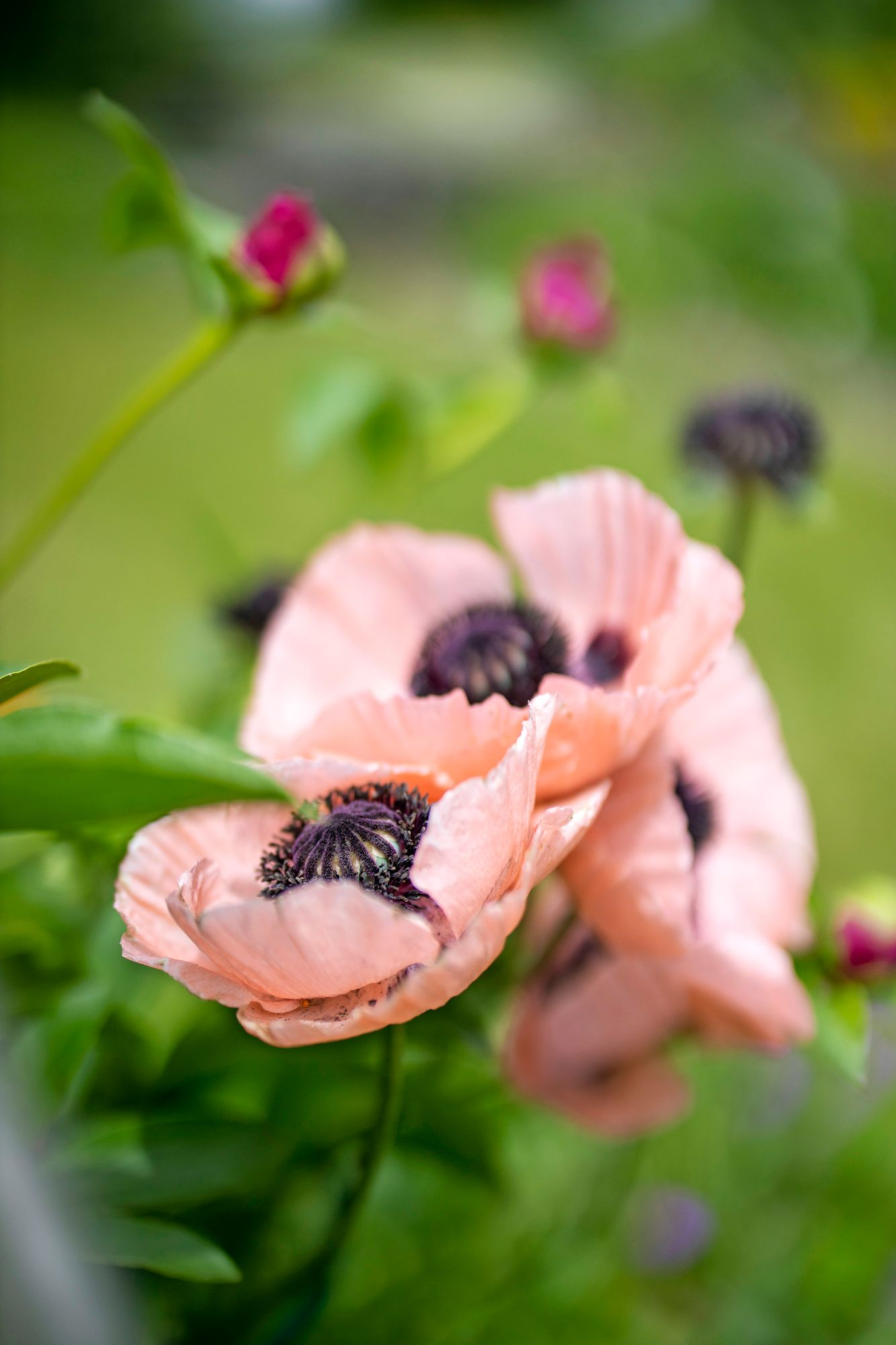 Gentle shades are cottage garden style.  The flowers of the Oriental poppies are large and flat like Teacups.  Pictured is the eastern poppy Salmon Pink.