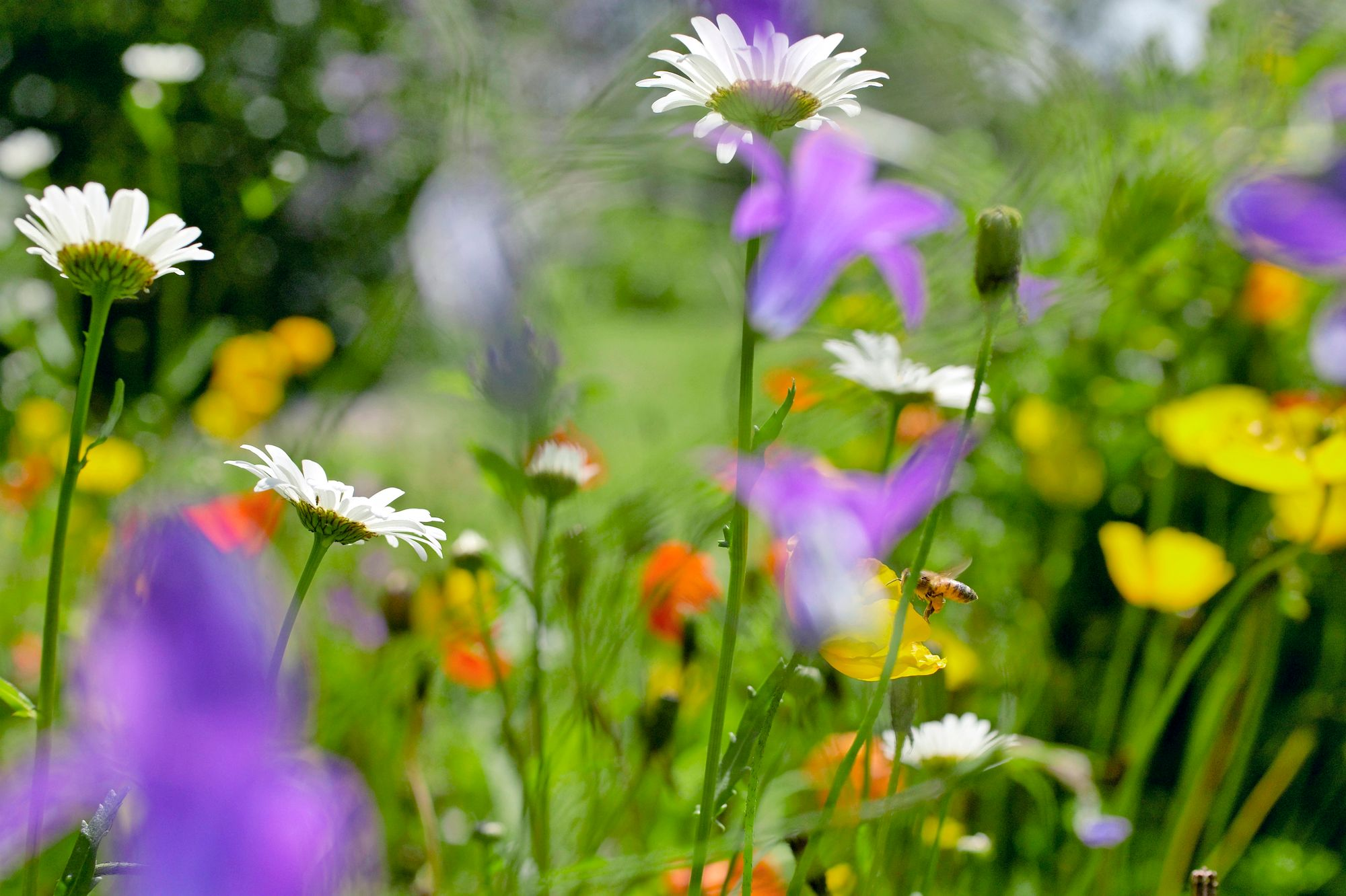 A flower meadow can be planted from seed in a sunny spot if one does not already grow on the cottage plot.  The easy-care cottage yard does not become more surprising than this!  Depending on the year and time, what ever grows and blooms in the meadow.