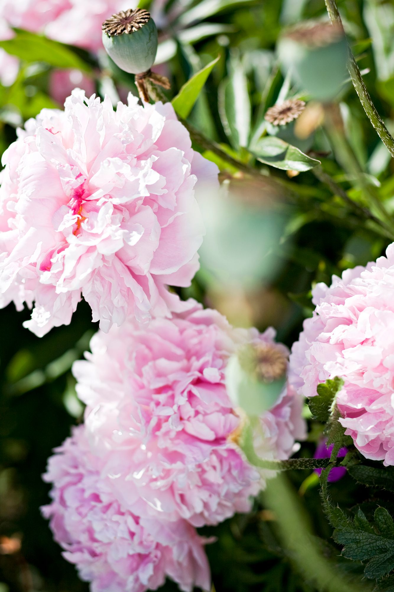 The peony is one of the most spectacular perennials.  The easy-care cottage yard makes it a real queen of color.