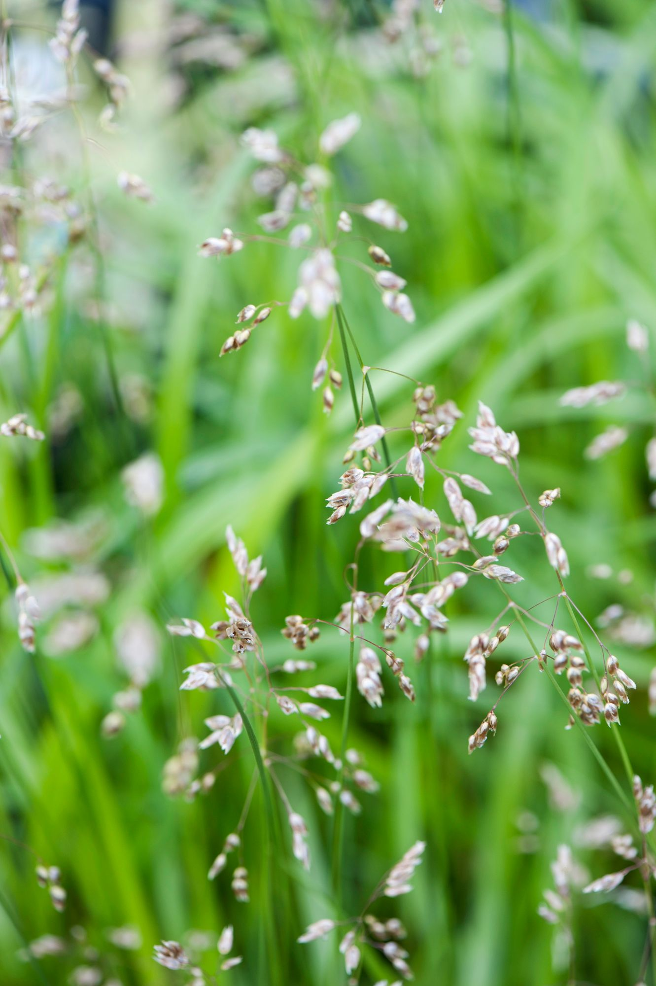 Meadow grass is a perennial fragrant hay species.